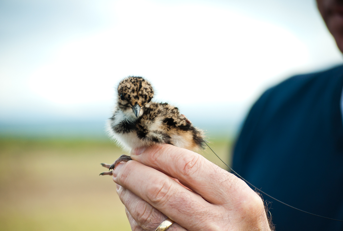 Lapwing chick 2  fitted with a 0.4grm radio tag